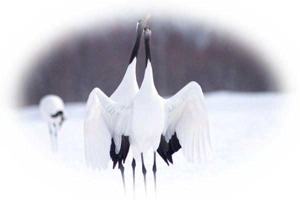 つがいの鶴を見る夢(鶴のカップルを見る夢)