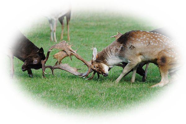鹿の喧嘩を見る夢