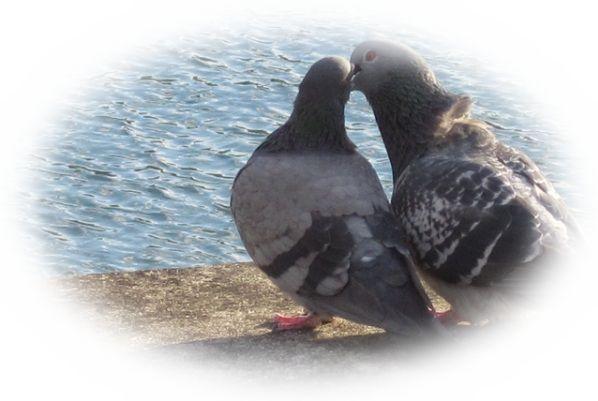 つがいの鳩を見る夢(鳩のカップルを見る夢)