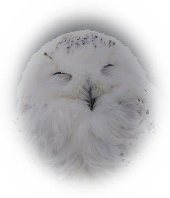 白いふくろうを見る夢