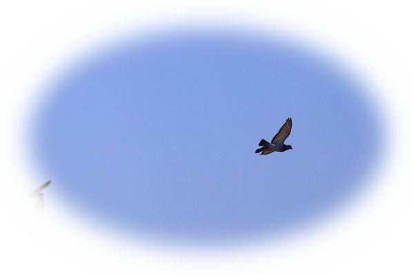 飛び去る鳩を見る夢