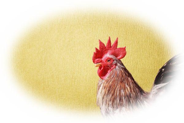 鶏がトサカを立てている夢