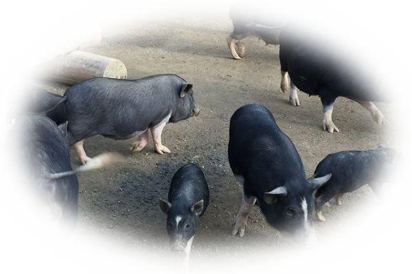 豚の群れを見る夢(たくさんの豚を見る夢)