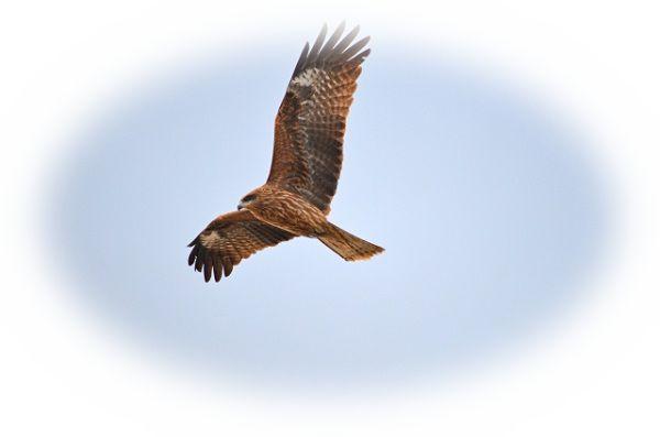 鷹の夢占い