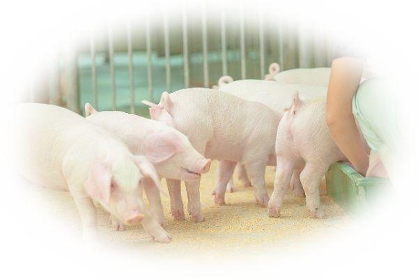 夢占い豚(ブタ)の夢の意味27選!豚鼻は何を暗示してる?