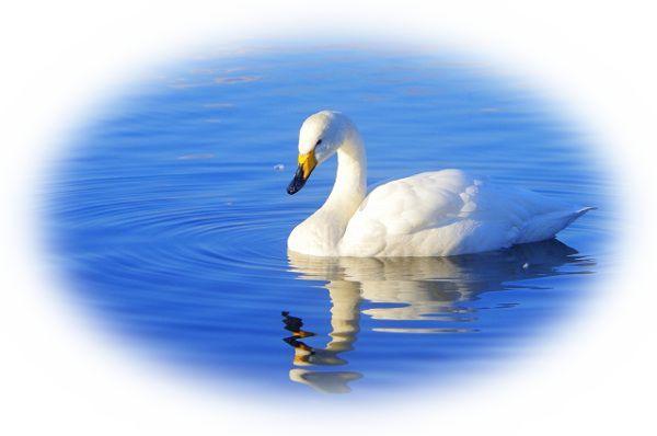 夢占い白鳥の夢の意味21選!綺麗すぎて孤立する暗示?!