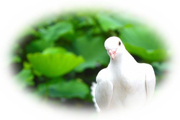 白い鳩を見る夢(白い鳩を手に入れる夢、飛んでいる白い鳩を見る夢)