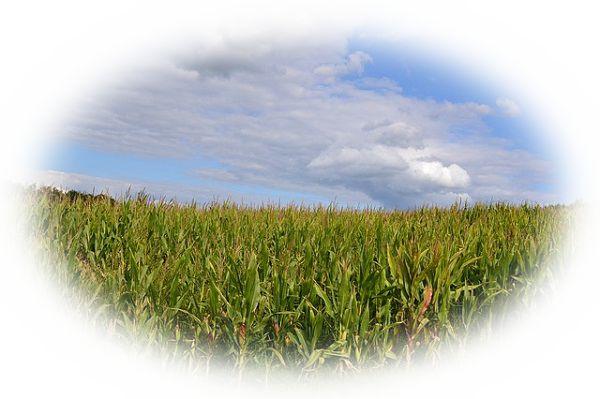 畑の作物が順調に育っている夢